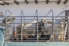 Bild von den Brahmankühen zugeschlossen auf einen Frachtpackwagen stockfotografie
