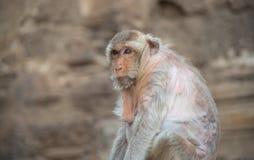 Bild von ein Affe Macaca fascicularis, langschwänziger Makaken, Krabbe Stockfotografie