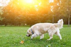 Bild von Labrador-Hund im Sommerpark auf Weg Lizenzfreie Stockfotografie
