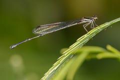 Bild von Libelle protoneuridae auf grünen Blättern insekt Lizenzfreie Stockbilder