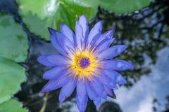 Bild von Lotos genanntem Nymphaea Caerulea thailand Stockfoto