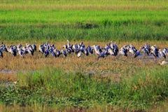 Bild von Mengen offen-berechnete Storch oder asiatisches openbill stockbilder