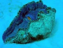 Bild von Riesenmuscheln auf Great Barrier Reef Ausralia stockbild