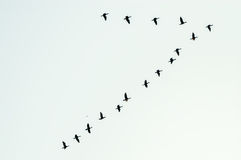 Bildande av fåglar i flykten Fotografering för Bildbyråer