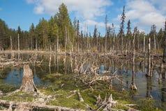 Bildande av mesotrophic myrar i taigaen f?r klimatisk zon, skog-tundra av den Arkhangelsk regionen arkivbild