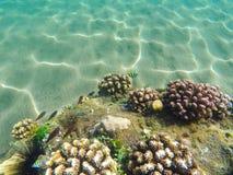 Bildande för korallrev på havsbotten Ungt korallbildande på sandseabottom Royaltyfri Fotografi