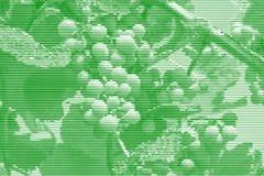 Bildcollage von reifenden Trauben auf der Rebe von horizontalem Lin stock abbildung