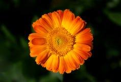 Bilden öppnade blomman av calendulaen på en grön bakgrund Royaltyfri Bild