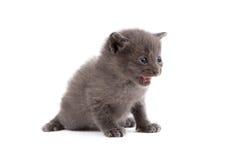 Bilden av den gulliga gråa kattungen jamar Royaltyfri Bild
