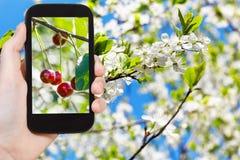 Bilden av den mogna körsbäret fattar på med vita blomningar Royaltyfri Bild