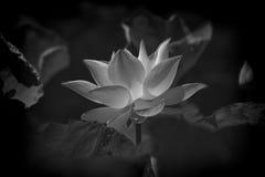 Bilden av den svartvita lotusblomman Royaltyfria Foton