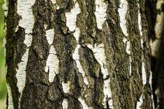 Bilden av det naturliga skället av ett björkträd som en abstrakt dekorativ bakgrund Arkivfoto