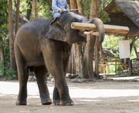 Bilden av elefanter lyfter upp timmer arkivbilder