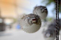 Bilden av en fågelskrämma av en pufferfisk Royaltyfri Fotografi