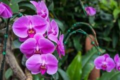 Bilden av en härlig purpurfärgad orkidé blommar i trädgården brigham royaltyfria foton