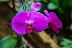 Bilden av en härlig purpurfärgad orkidé blommar i trädgården brigham arkivfoto