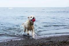 Bilden av en rolig hundavelgolden retriever har gyckel på stranden, når den har simmat med dess röda boll fotografering för bildbyråer