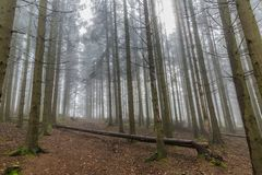 Bilden av högväxt sörjer träd från ett lägre perspektiv i skogen arkivfoton