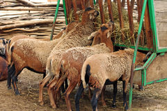 Bilden av lamm äter hö på zoo Arkivfoto