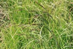 Bilden av stammar för grönt gräs i förgrunden med brunt blommar mot en bakgrund av suddigt gräs i en ljus solig dag Arkivfoton