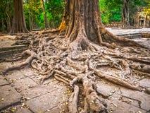 Bilden av träd och templet, Angkor, Cambodja Royaltyfri Foto