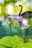 Bilden av två svanar på vattnet parkerar in closeupen royaltyfria foton