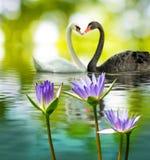 Bilden av två svanar på vattnet parkerar in closeupen Arkivbilder