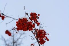 Bilden med de ljusa röda rönnbären under snön Royaltyfri Fotografi