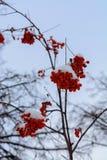 Bilden med de ljusa röda rönnbären under snön Royaltyfria Bilder