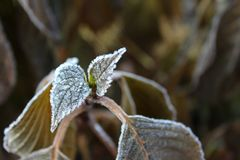 Bilden Sie eben die Hortensieblätter, die mit Eis bereift werden stockbilder