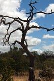 Bilden Sie sich vom trockenen alten Baum gegen den Himmel Lizenzfreies Stockfoto