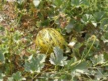 Bilder der Melone auf dem Gebiet für Werbungen von Fruchtproduzenten Lizenzfreies Stockbild