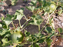 Bilder der Melone auf dem Gebiet für Werbungen von Fruchtproduzenten Stockfoto