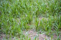 Bilder der Weizenfeldansicht und Bilder von Weizenähren Stockfotos