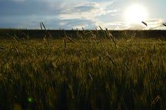 Bilder der Weizenfeldansicht und Bilder von Weizenähren Lizenzfreie Stockfotos