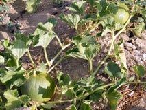 Bilder des unausgereiften kelek und der Melone auf dem Feld Stockfotos