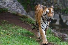Bilder eines jungen Sumatran-Tigers Stockfotografie