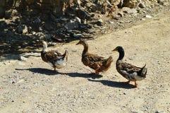 Bilder von den Entenbrüdern, die nacheinander gehen Stockfotografie