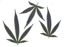 Bildläsning av nya sidor av marijuanaforramar och baner Arkivfoto
