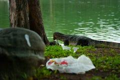 Bildskärmödlan omkring som äter fisken, Lumpini parkerar, Bangkok Arkivbilder