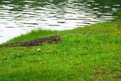 Bildskärmödlan som äter sköldpaddan, Lumphini parkerar, Bangk Arkivbilder