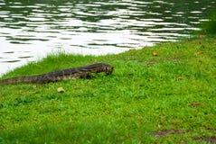 Bildskärmödlan som äter sköldpaddan, Lumphini parkerar, Bangk Fotografering för Bildbyråer
