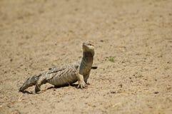 Bildskärm Lizzard - reptil av Afrika Royaltyfria Bilder