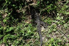 Bildskärmreptil för jätte- ödla som går i djungeln royaltyfri bild