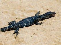 Bildsk?rm?dla p? stranden p? kusterna av Indiska oceanen p? ?n av Sri Lanka royaltyfri foto