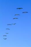 Bildung von den Pelikanen, die für Lebensmittel fliegen stockbilder