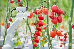 Bildverarbeitungstechnologie war, mit dem Roboter an gewohnt auf Tomaten, zu ernten zuzutreffen in der Landwirtschaftsindustrie lizenzfreie stockfotos