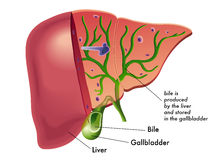 Bile. Medical illustration that represents the production of bile from the liver Stock Photo