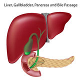 Bile passges, textbook accuracy, non-labeled v. Liver, gallbladder, pancreas and bile passages, eps8, gradient and mesh printing compatible vector illustration