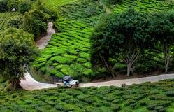 Bilen korsar landsvägen i teakolonin, Cameron högland, Malaysia Arkivbild